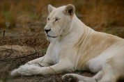 The white lions were beautiful!