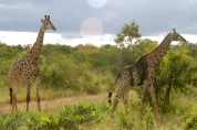 This giraffe looked so interesting with the black patches down its side.