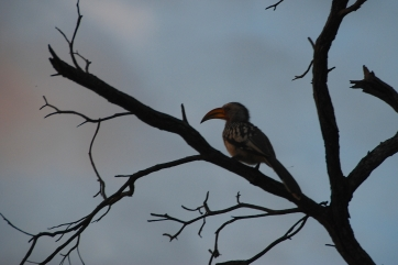 We saw so many amazing and beautiful birds! I think this was the red-billed hornbill.