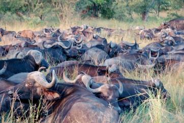 Huge herd of African Buffalo.