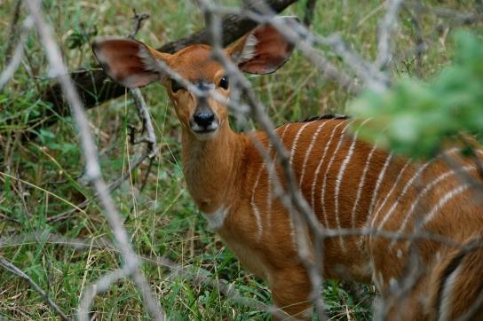 Small kudu.