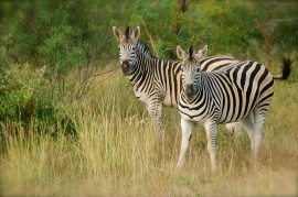 Loved watching the zebras!