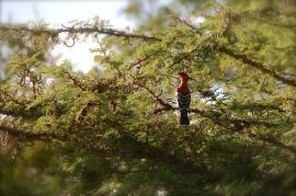African hoopoe bird.