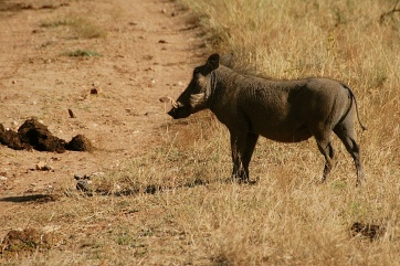 More warthogs!