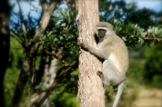 Adorable vervet monkeys.