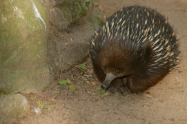 The funny echidna (sometimes known as spiny anteaters).