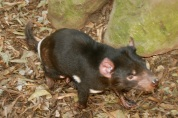 The very strange Tasmanian Devil. It has very fast and frantic movements and is also so ugly its cute!