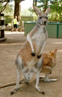 I don't know what it is about the kangaroo but I love them! So neat to see the different varieties of kangaroos too.