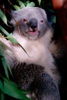 Adorable koala!